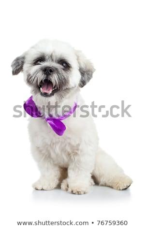 havanese · köpek · yavrusu · mor · şerit · resim - stok fotoğraf © feedough