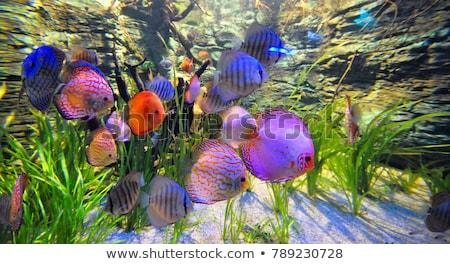 ディスカス 魚 カラフル ショット 青 ストックフォト © macropixel