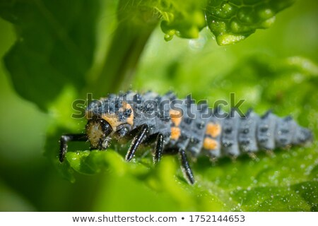 Ladybird Larvae Stock photo © chris2766