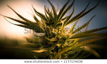 Usine bourgeon marijuana Photo stock © filmstroem