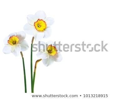 narcissus on white background Stock photo © compuinfoto
