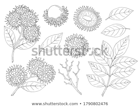 rambutan fruit Stock photo © tdoes