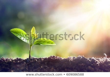 Yeni hayat doğa yaprak toprak bitki tarım Stok fotoğraf © mblach