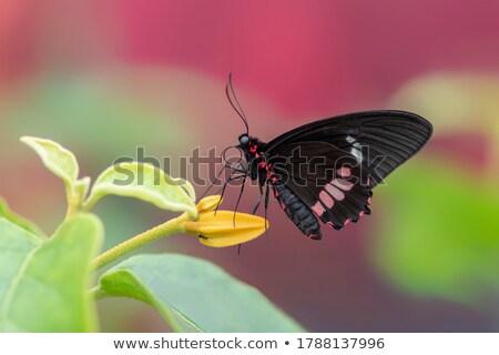 Központi amerikai pillangó makró lövés levél Stock fotó © macropixel