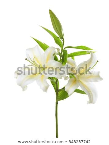 Lily · isolé · blanche · fleur · Pâques · eau - photo stock © dolgachov