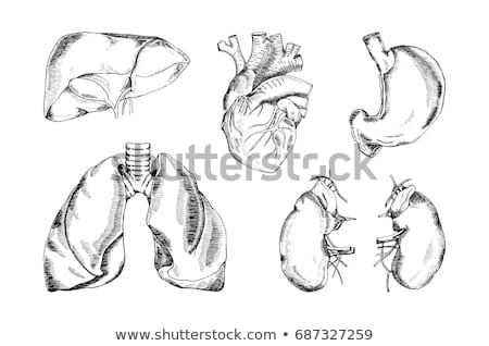 Internal Organs - Pencil Drawing Style Stock photo © AlienCat