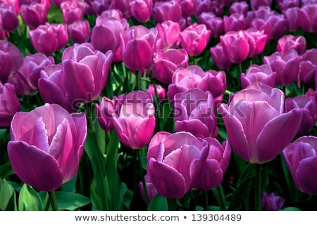 Purple tulips garden Stock photo © stevanovicigor