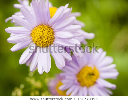 Sunloving Aster Stock photo © PBodig