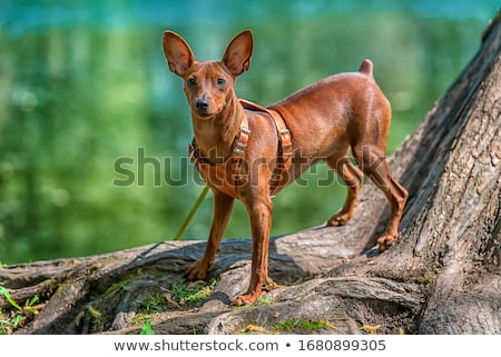 Funny Miniature Pinscher Stock photo © buchsammy