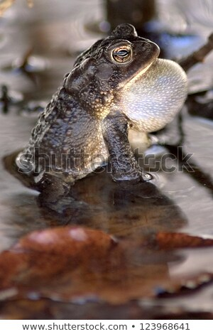 Frog singing in the pond stock photo © carbouval