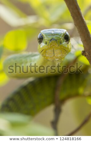green boomslang tree snake stock photo © bradleyvdw
