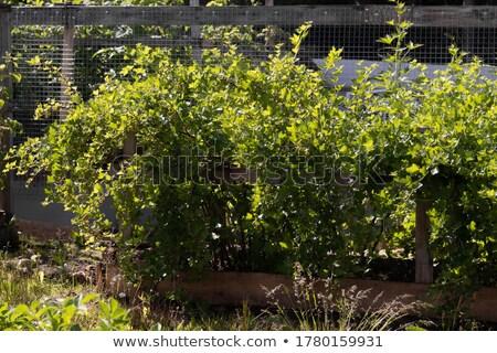 çalı · can · kullanılmış · yaprak · meyve · bahçe - stok fotoğraf © ryhor