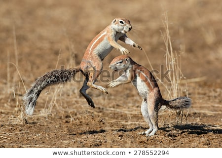 Southern African Ground Squirrel Stock photo © dirkr