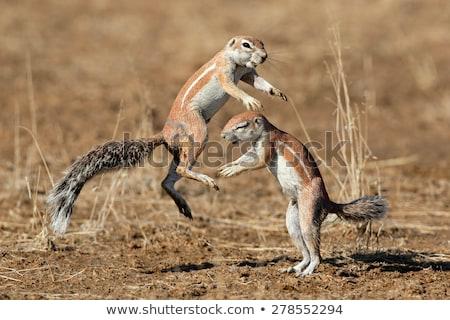 afrikaanse · grond · eekhoorn · woestijn · Botswana · gezicht - stockfoto © dirkr