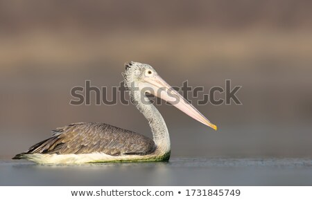 Spot Billed Pelican Stock photo © pazham