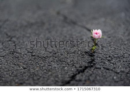 開花 2 美 ピンク 錫 バケット ストックフォト © zhekos