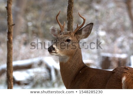 Whitetail Deer Spike Buck Stock photo © brm1949