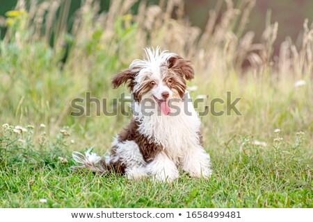 cinese · cucciolo · seduta · isolato · bianco · cane - foto d'archivio © willeecole
