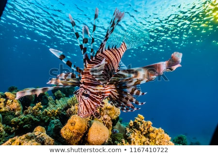Lionfish, Beautiful sea fish Stock photo © Yongkiet