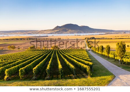 wine harvest southern moravia czech republic stock photo © phbcz