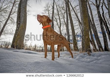 Chien de chasse permanent neige or forêt Photo stock © Quasarphoto