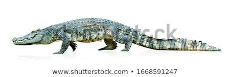 Fej amerikai krokodil közelkép víz fogak Stock fotó © OleksandrO