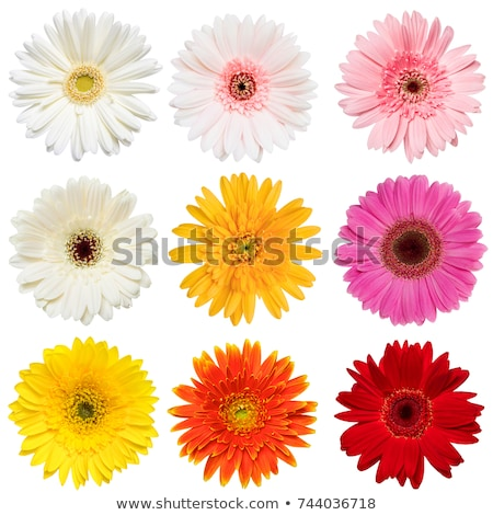 beautiful red gerbera daisy flower isolated on white Stock photo © tetkoren