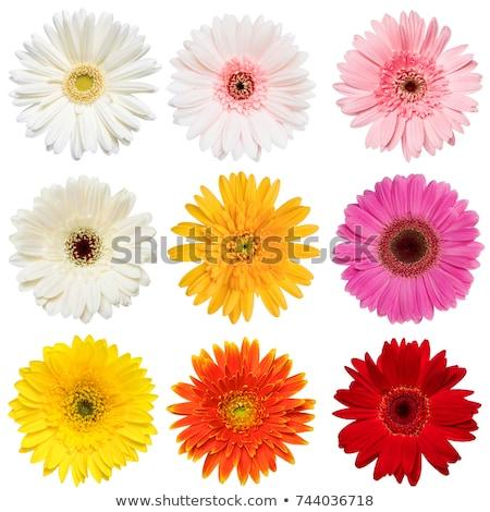 belo · vermelho · margarida · flor · isolado · branco - foto stock © tetkoren
