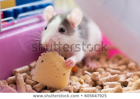evcil · hayvan · sıçan · yeme · sevimli · beyaz - stok fotoğraf © fouroaks