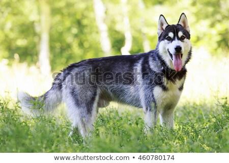 グレー ハスキー 犬 青 作業 動物 ストックフォト © cynoclub