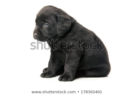 Stock photo: Small black puppy