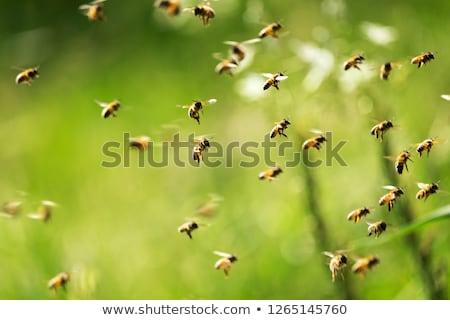 Pszczoła wiosną ogród owoców drzew Zdjęcia stock © jordanrusev