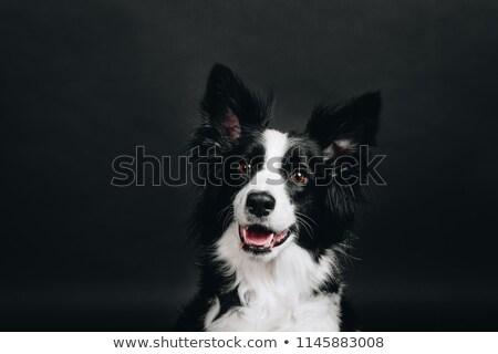 Witte grappig hond donkere studio gelukkig Stockfoto © vauvau