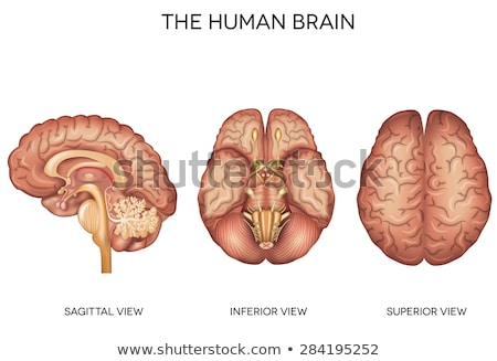 human brain detailed anatomy from different views stock photo © tefi