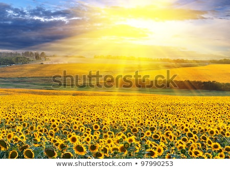 background with shiny sun over the field stock photo © swillskill