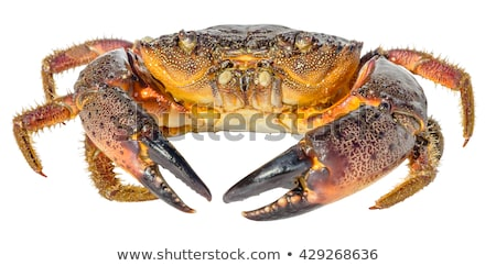 Stone crab (Eriphia verrucosa). Stock photo © All32