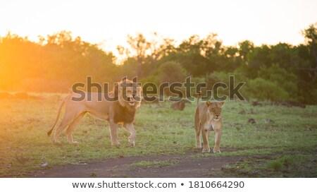Big male Lion doing a Flehmen grimace. stock photo © simoneeman