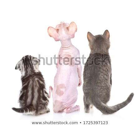 Three purebred sphinx kittens Stock photo © vapi