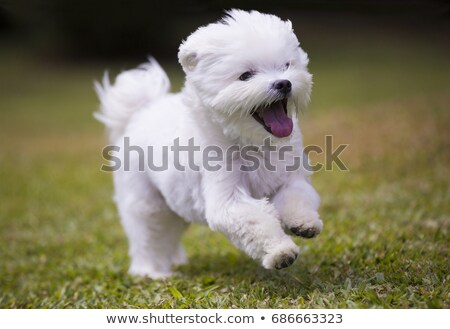cachorro · cão · branco - foto stock © cynoclub