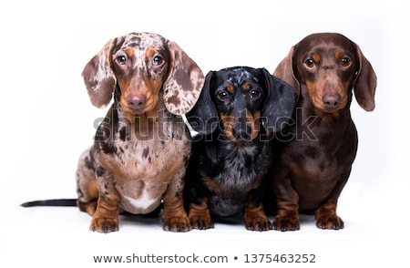 christmas group of three santa cats and dogs sitting Stock photo © feedough