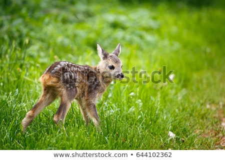 camouflaged roe deer fawn stock photo © taviphoto