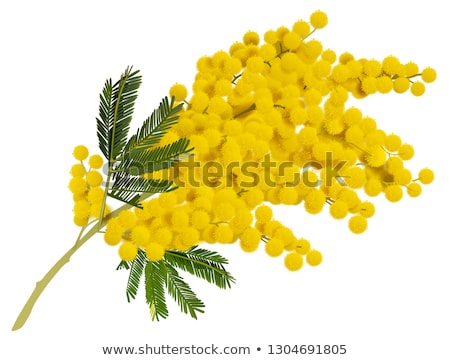 Yellow mimosa branch flower. Acacia symbol of love in Italy Stock photo © orensila