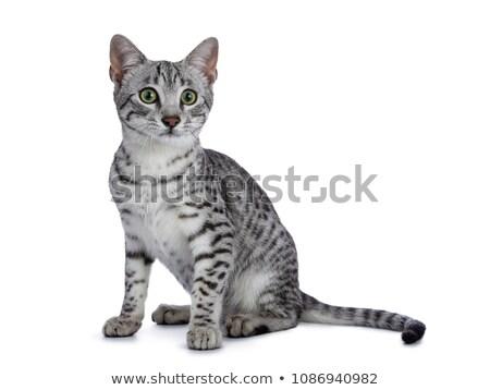 bonitinho · prata · egípcio · gato · gatinho · sessão - foto stock © CatchyImages