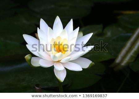 White water lily flower in dark pond Stock photo © vapi