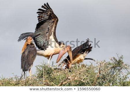 Bocian gniazdo Etiopia Afryki przyrody Zdjęcia stock © artush