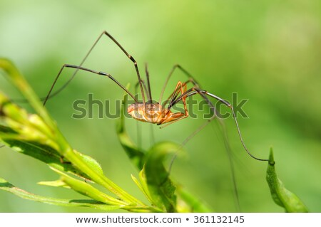 hosszú · lábak · pók · zöld · természet · erdő · tavasz - stock fotó © sweetcrisis