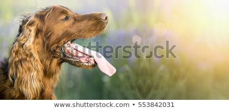 Chien haletant bouche ouverte langue suspendu Photo stock © albund