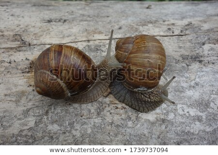 two creeping snails on each other stock photo © gewoldi
