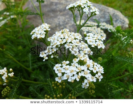 Yarrow Stock photo © joker