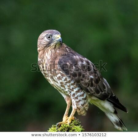 Broad-Winged Hawk Stock photo © michelloiselle